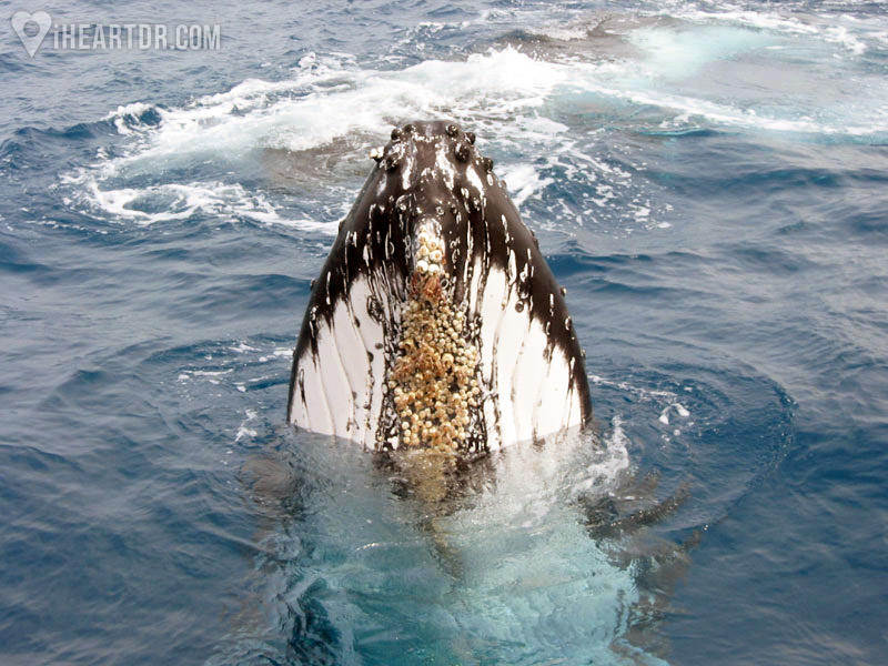 Front view of a humpback whale in the Samana Bay
